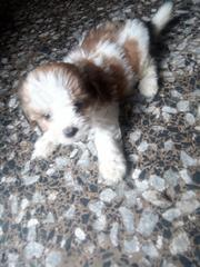 Baby Female Purebred Lhasa Apso | Dogs & Puppies for sale in Rivers State, Obio-Akpor