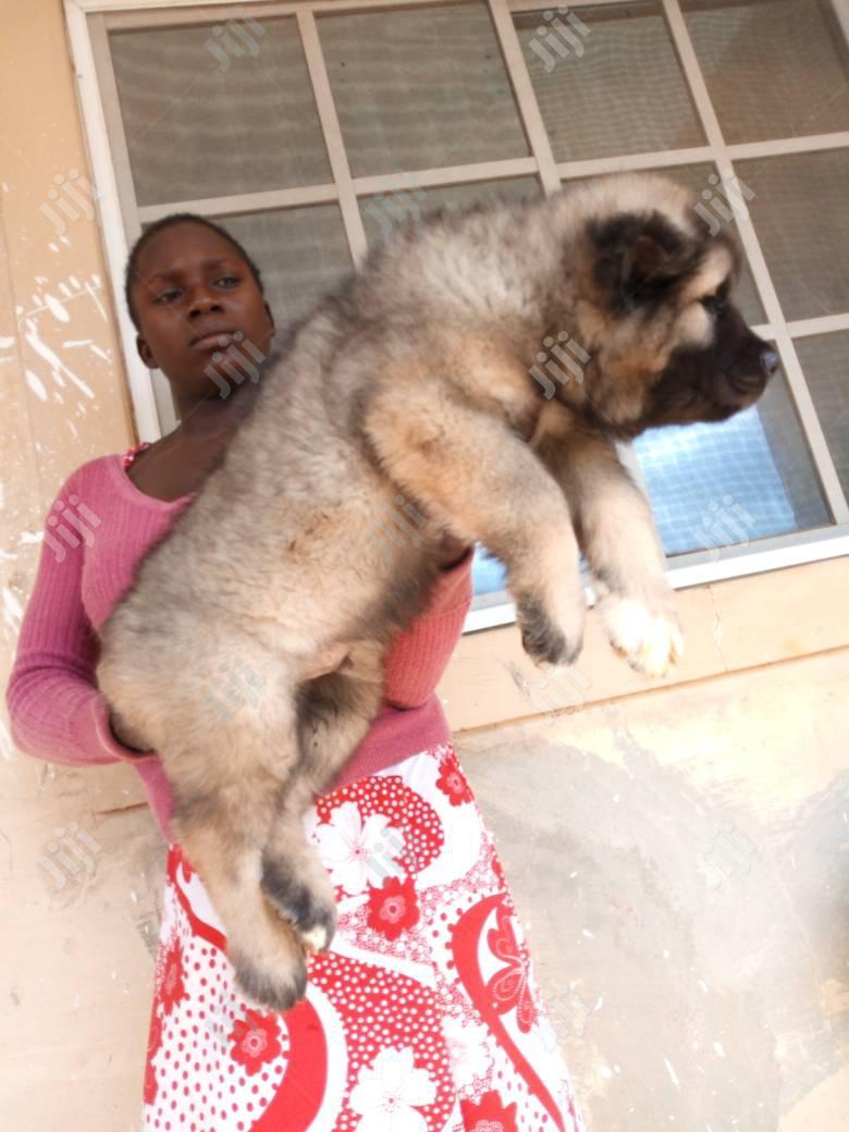 1-3 Month Female Purebred Caucasian Shepherd | Dogs & Puppies for sale in Lagos Island (Eko), Lagos State, Nigeria