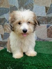 Baby Male Purebred Lhasa Apso   Dogs & Puppies for sale in Abuja (FCT) State, Central Business Dis