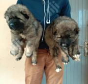 Baby Female Purebred Caucasian Shepherd Dog   Dogs & Puppies for sale in Abuja (FCT) State, Central Business Dis