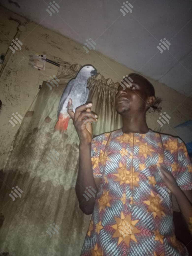 Well Trained Parrot. . | Birds for sale in Surulere, Lagos State, Nigeria