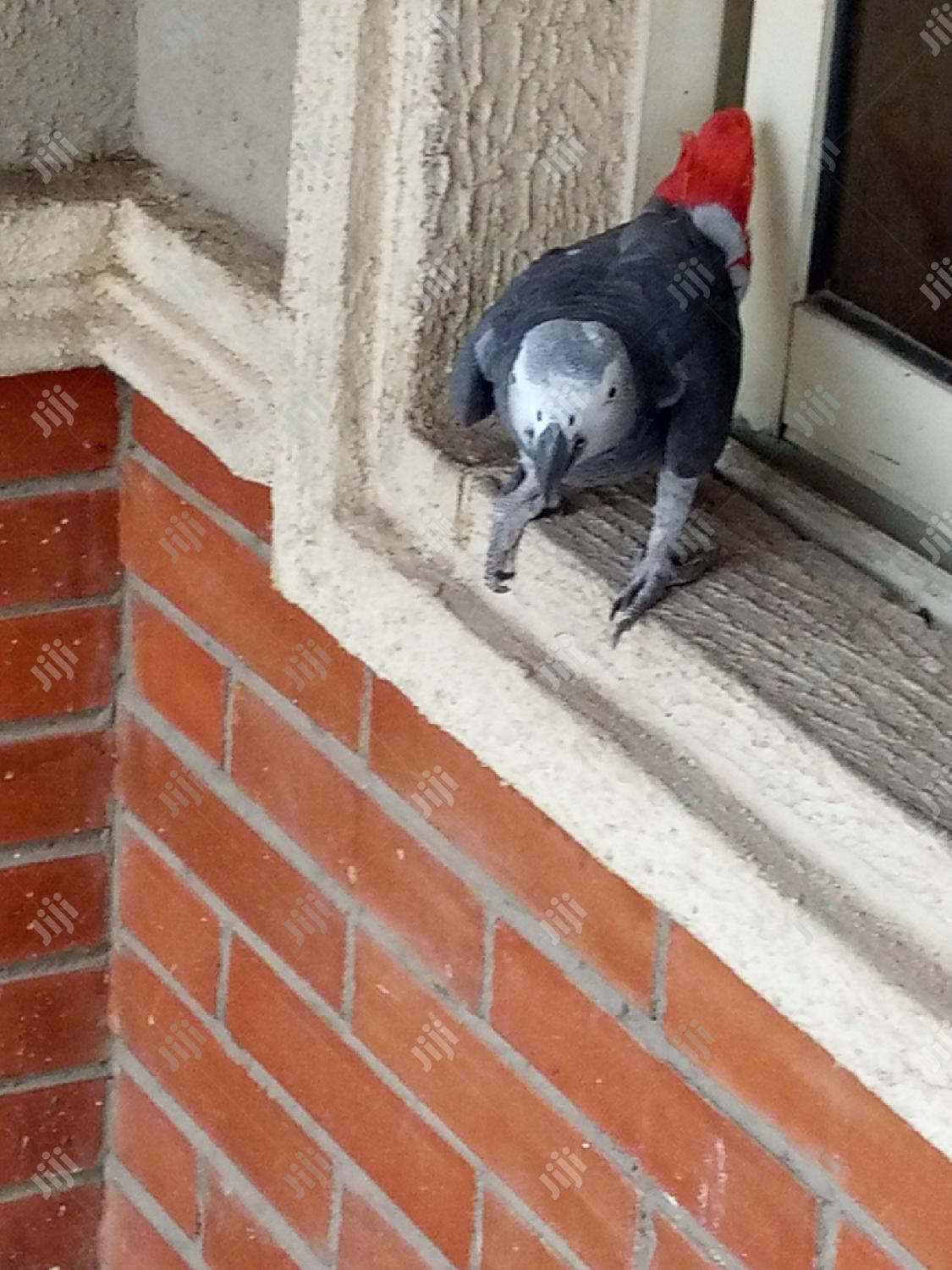 African Gray Parrot Available For Sale