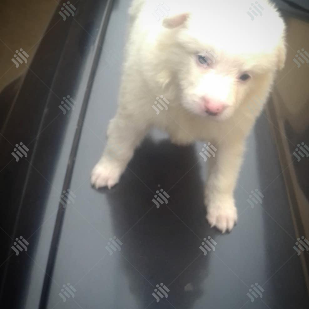 Baby Male Purebred American Eskimo   Dogs & Puppies for sale in Surulere, Lagos State, Nigeria