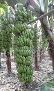 Hybrid Plantain And Bannana Suckers | Feeds, Supplements & Seeds for sale in Edo State, Okada