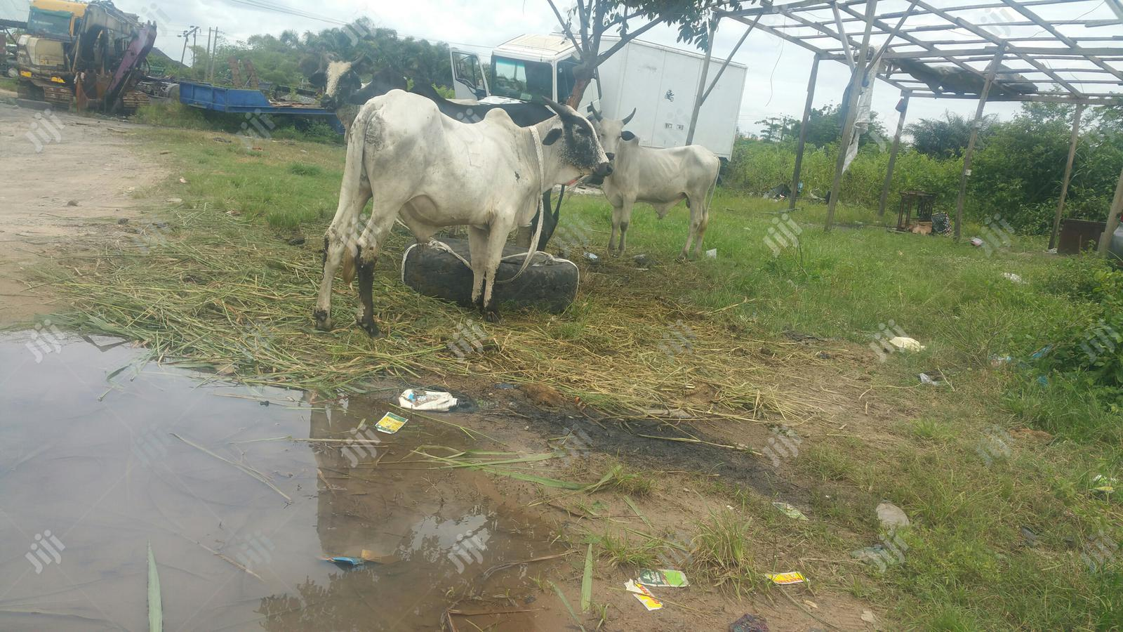 Healthy Meaty Cow At Abraham Adesanya Cow Mkt | Livestock & Poultry for sale in Ajah, Lagos State, Nigeria