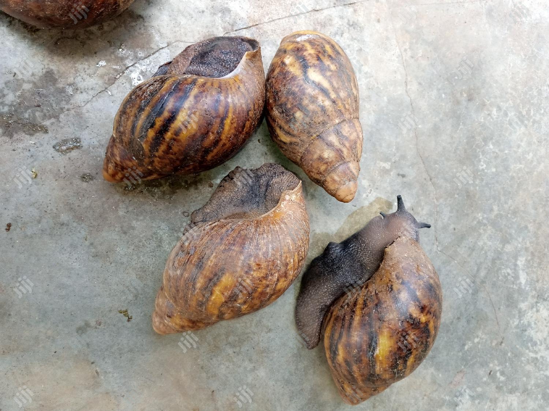 Jumbo Snail | Other Animals for sale in Ibadan, Oyo State, Nigeria