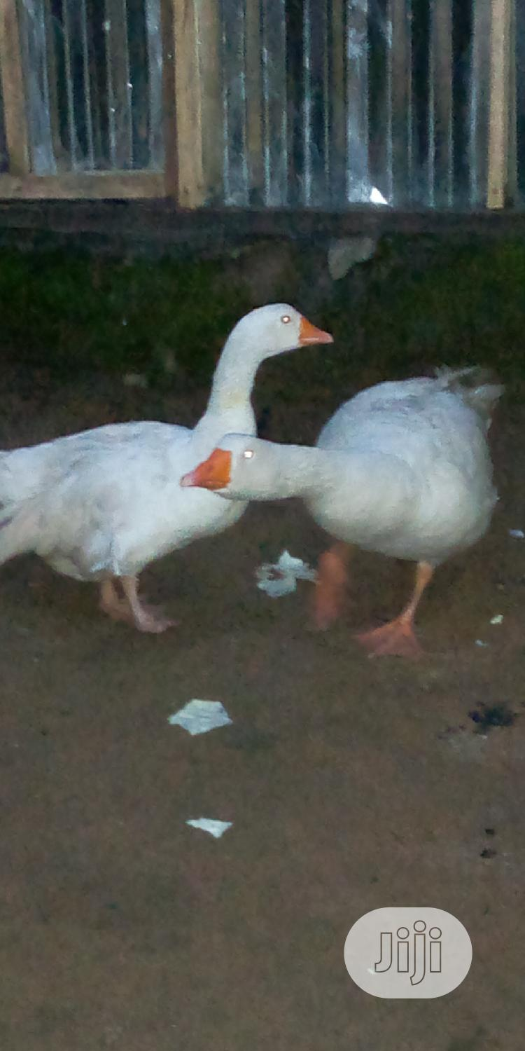 Geese And Turkey