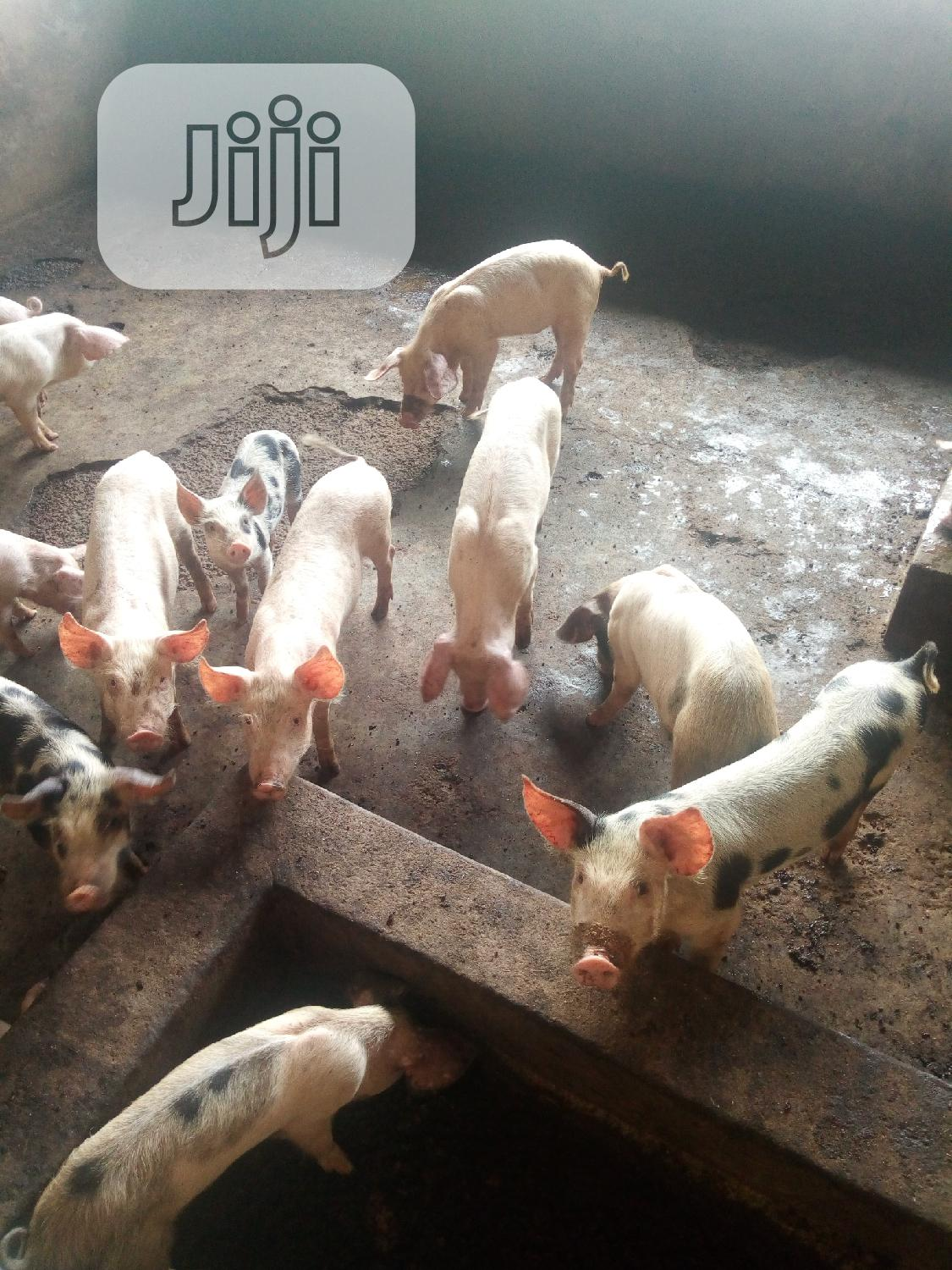 Archive: Newly Weaned Piglets