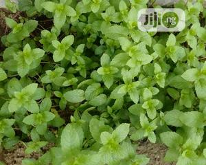 Healthy Pepper Mints Seedlings   Feeds, Supplements & Seeds for sale in Lagos State, Ajah