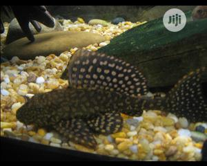 Pleco Fish For Aqueriums And Fish Bowls | Fish for sale in Lagos State, Surulere