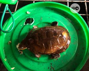 Tortoise For Aqueriums , Bowls And Enviroment | Reptiles for sale in Lagos State, Surulere