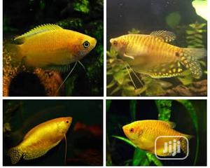 Golden Gourami For Aqueriums And Fish Bowls | Fish for sale in Lagos State, Surulere