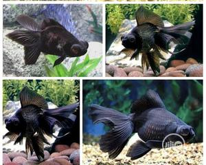 Black Moor Fish For Aqueriums And Bowls | Fish for sale in Lagos State, Surulere