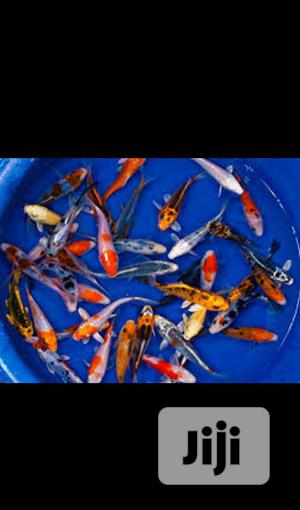 Koi Fish With Amazing Colours | Fish for sale in Lagos State, Surulere