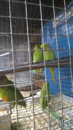 Healthy Male And Female Parakeet For Sale | Birds for sale in Lagos State, Surulere