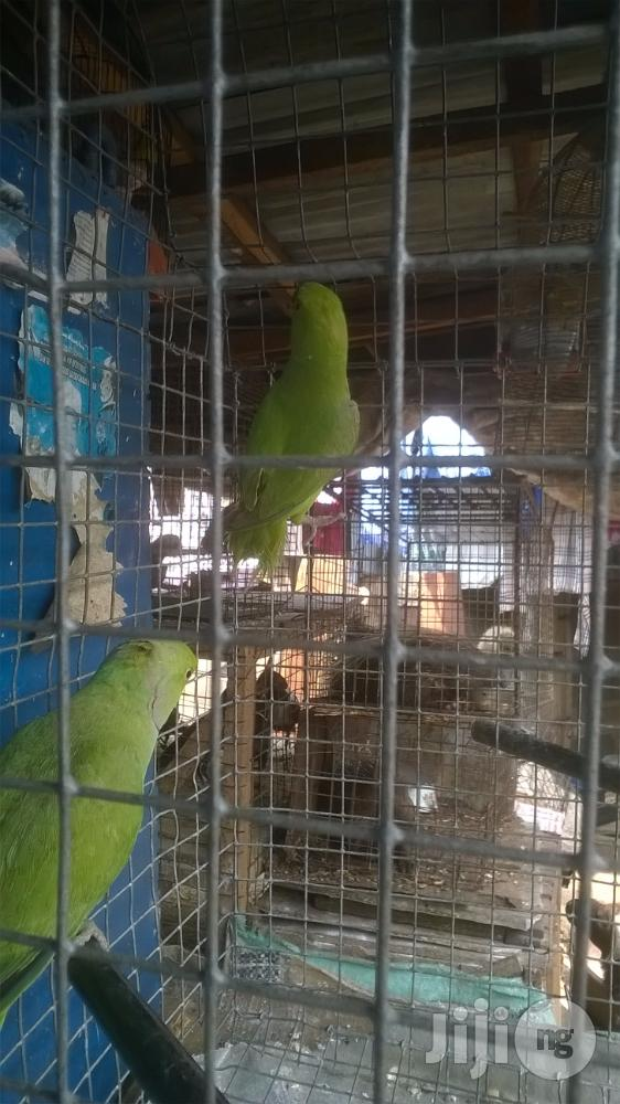 Healthy Male And Female Parakeet For Sale | Birds for sale in Surulere, Lagos State, Nigeria