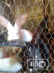 High Quality Hyla Nzw American Chinchilla Rabbits For Sale | Livestock & Poultry for sale in Ogun State, Ewekoro