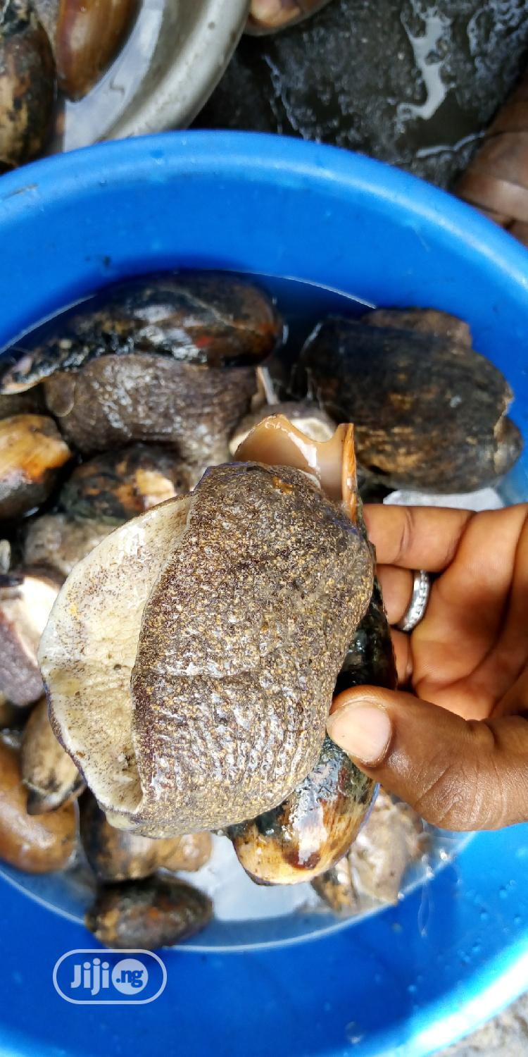 Sea Snails | Other Animals for sale in Ejigbo, Lagos State, Nigeria