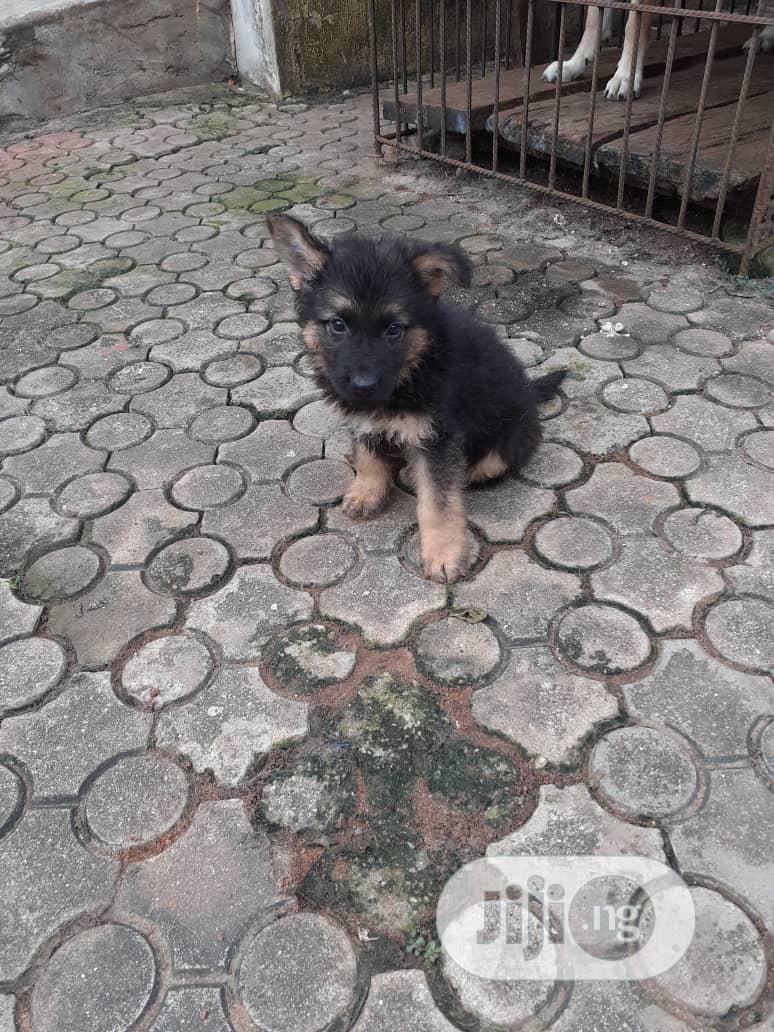 Baby Female Purebred German Shepherd