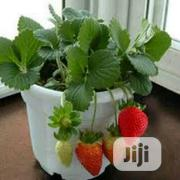 Organic Strawberry Seedlings Or Strawberry Seeds | Feeds, Supplements & Seeds for sale in Lagos State, Victoria Island