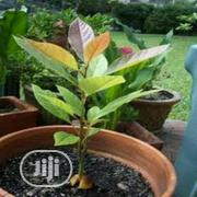 Organic Avocado Seedlings Or Avocado Seed | Feeds, Supplements & Seeds for sale in Lagos State, Victoria Island
