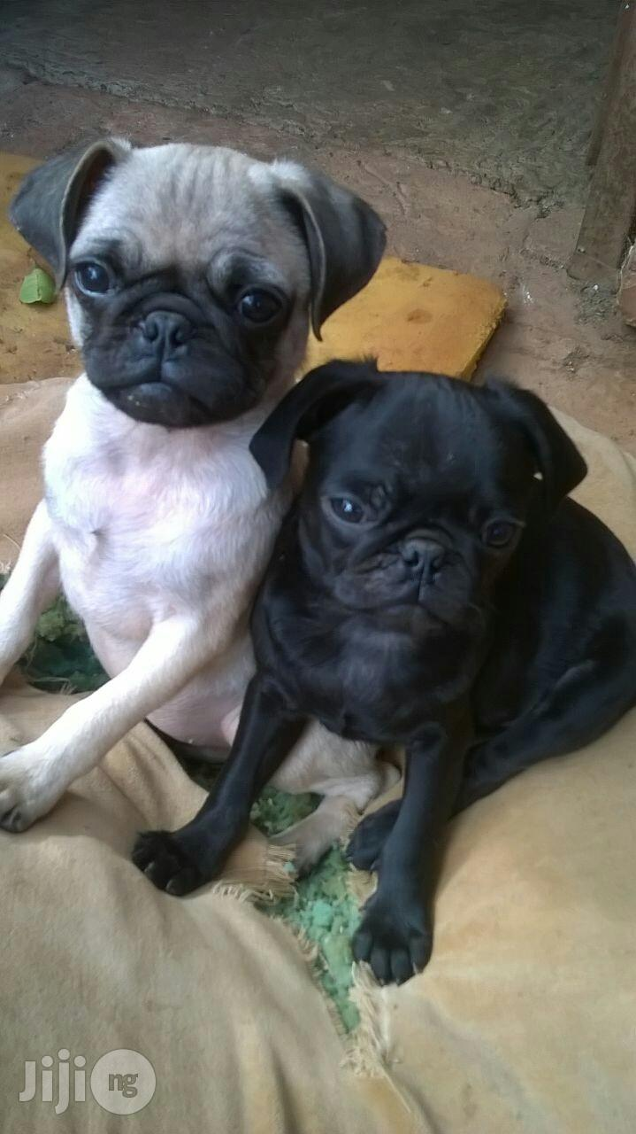 Young Male Purebred Pug | Dogs & Puppies for sale in Lekki, Lagos State, Nigeria