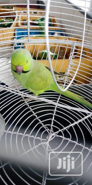 Rose-Ringed Parrot With Cage | Birds for sale in Lagos State, Alimosho