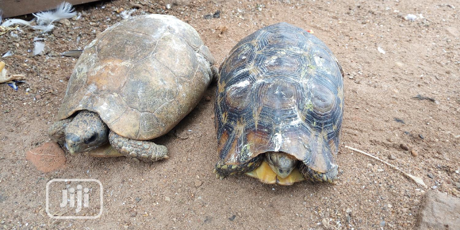 Archive: Tortoise For Sale At Give Away Price