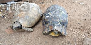 Tortoise For Sale At Give Away Price | Reptiles for sale in Kaduna State, Zaria