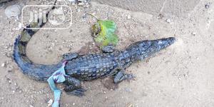 Crocodiles For Sale | Reptiles for sale in Kaduna State, Zaria