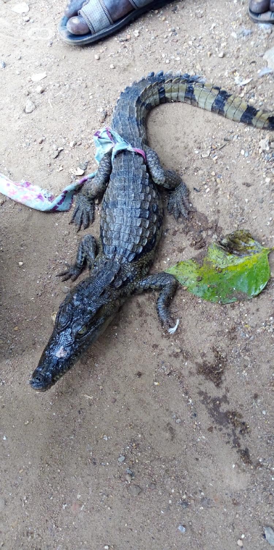 Archive: Crocodiles For Sale
