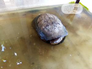Tortoise For Bowls And Aqueriums | Reptiles for sale in Lagos State, Surulere
