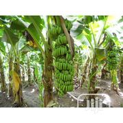 Treated Hybrid Banana And Plantain Suckers With Improved Yield | Feeds, Supplements & Seeds for sale in Edo State, Okada