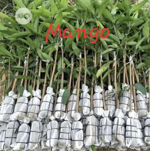 Hybrid Dwarf Mango Seedling for Sale | Feeds, Supplements & Seeds for sale in Oyo State, Ibadan