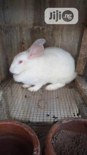 Adult Rabbit | Livestock & Poultry for sale in Lagos State, Surulere
