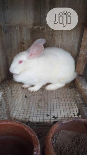 Adult Rabbit   Livestock & Poultry for sale in Lagos State, Surulere
