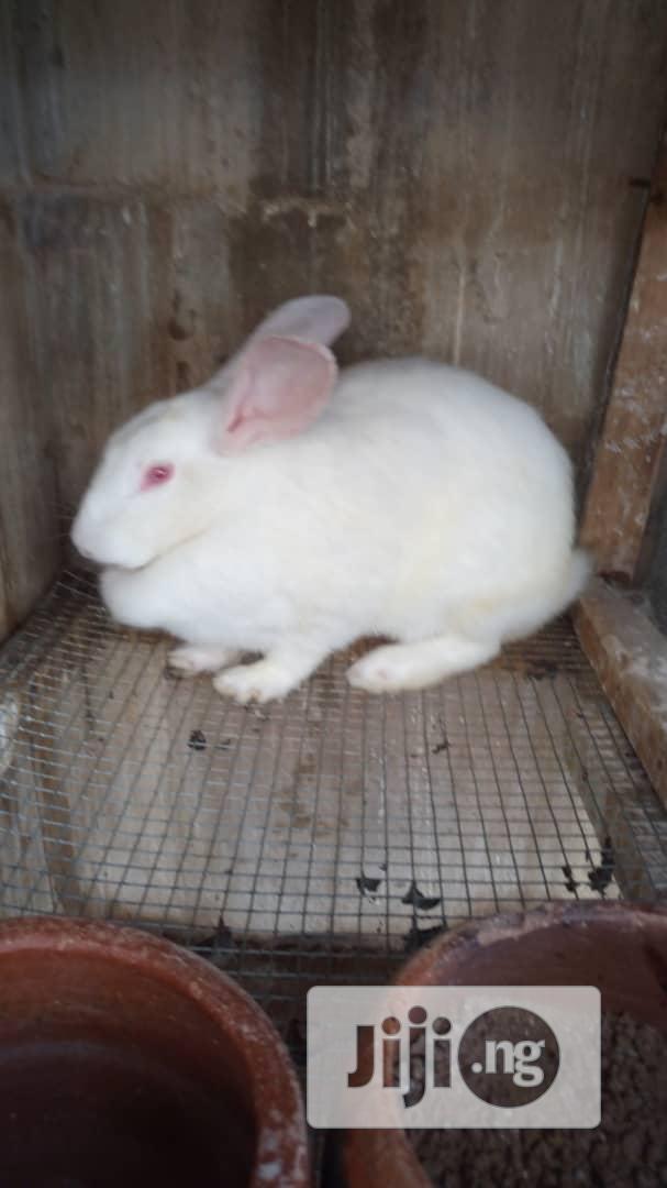 Adult Rabbit