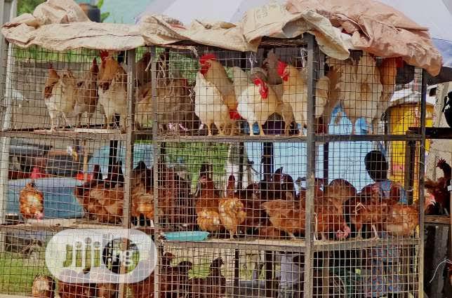 18kg Big Healthy Hybrid #Christmas #Newyear Turkeys for Sale | Livestock & Poultry for sale in Lagos Island (Eko), Lagos State, Nigeria