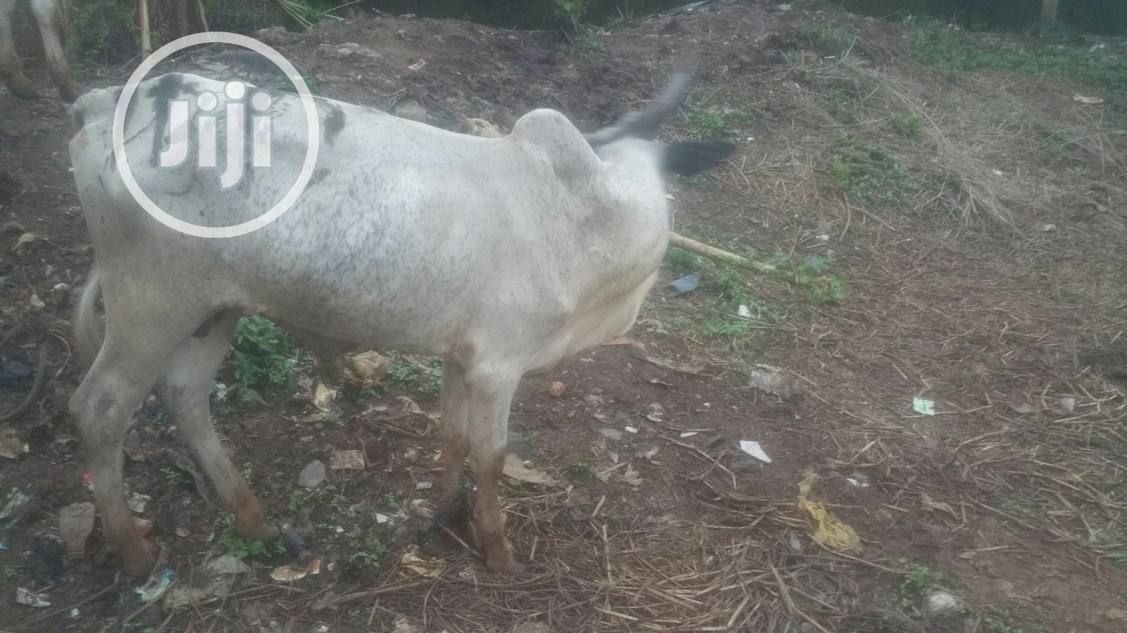 Healthy Cow   Livestock & Poultry for sale in Ajah, Lagos State, Nigeria