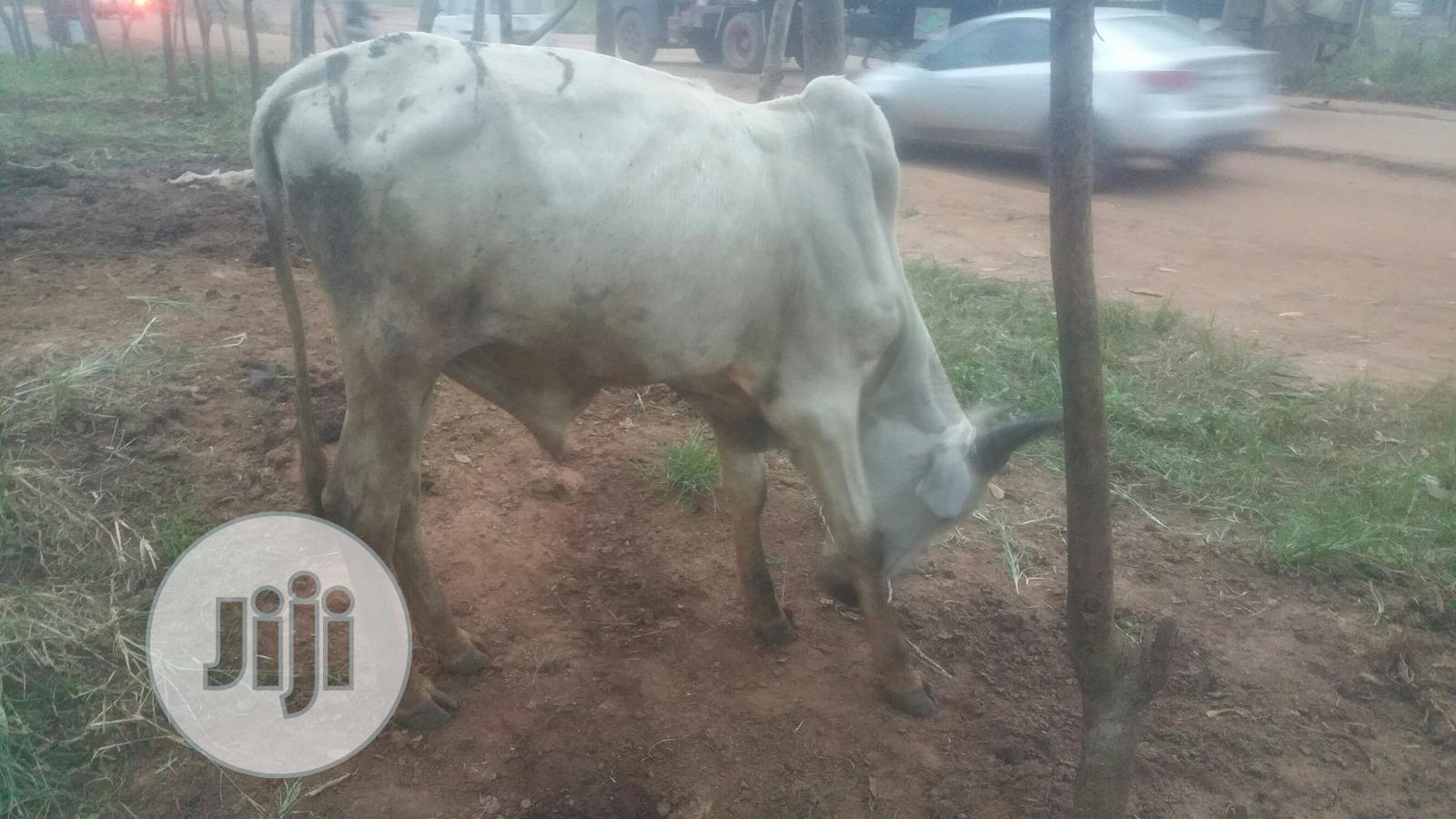 PARTIES COW: Healthy Cow At Good Prices | Livestock & Poultry for sale in Ajah, Lagos State, Nigeria
