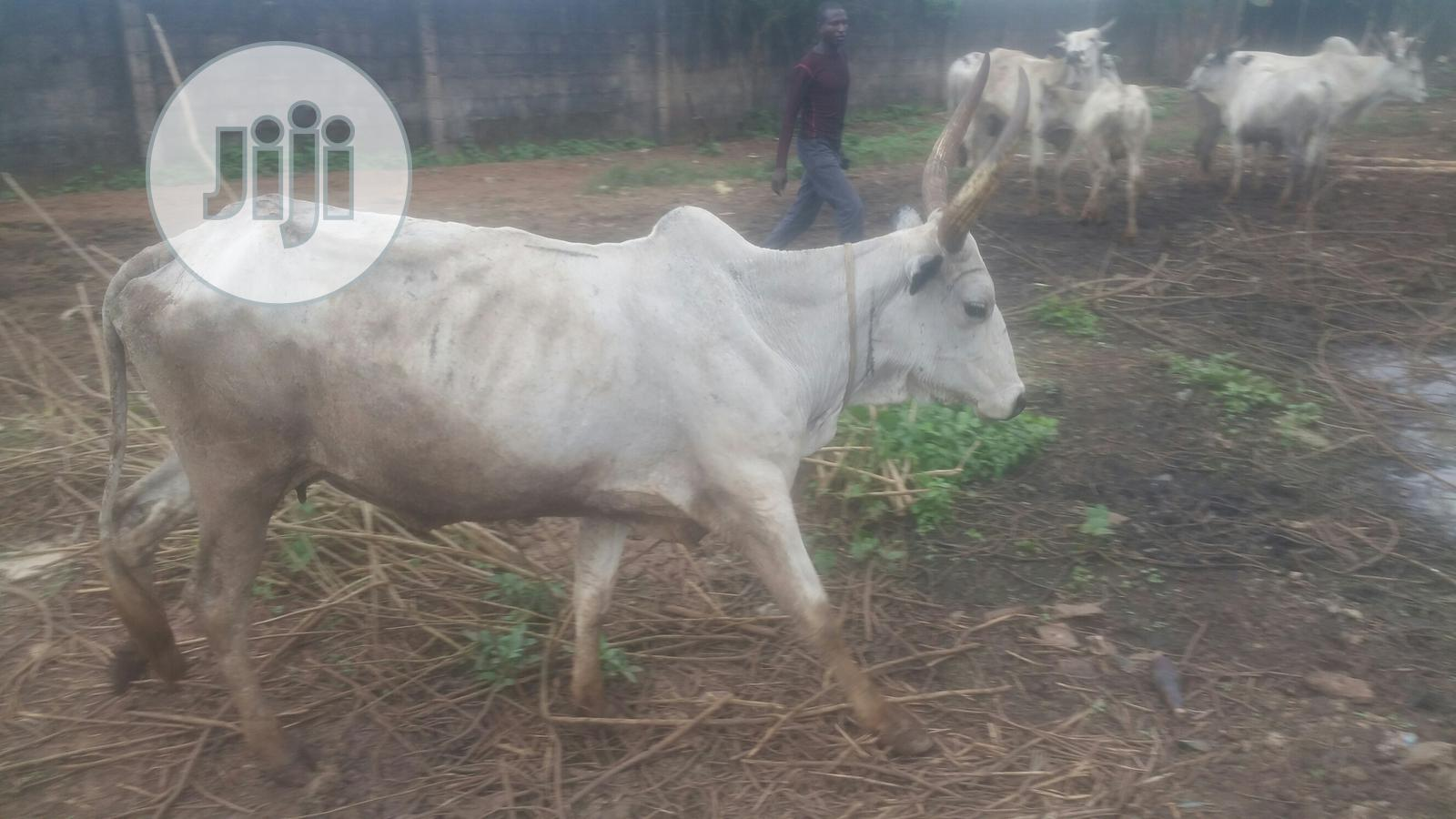 Big Cow At A Discount Price | Livestock & Poultry for sale in Sagamu, Ogun State, Nigeria