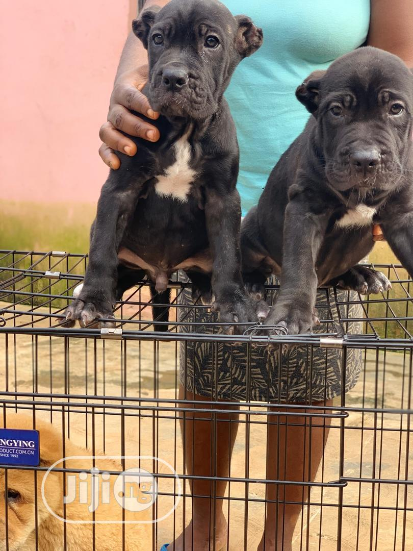 Baby Male Purebred Cane Corso In Amuwo Odofin Dogs Puppies All Things Pets Ng Jiji Ng