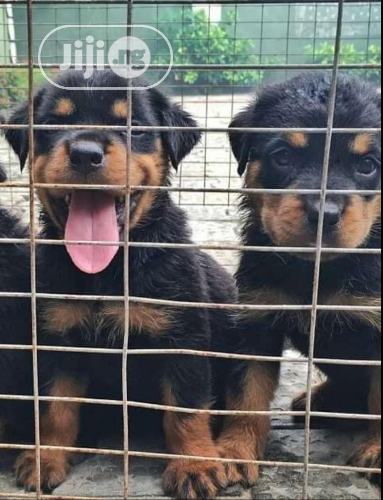 Baby Male Purebred Rottweiler   Dogs & Puppies for sale in Port-Harcourt, Rivers State, Nigeria