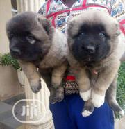 Baby Male Purebred Caucasian Shepherd Dog   Dogs & Puppies for sale in Abuja (FCT) State, Central Business Dis