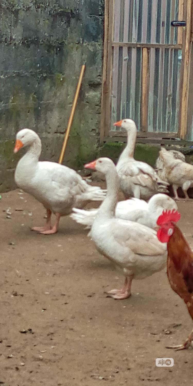 Geese And Turkey   Livestock & Poultry for sale in Obio-Akpor, Rivers State, Nigeria