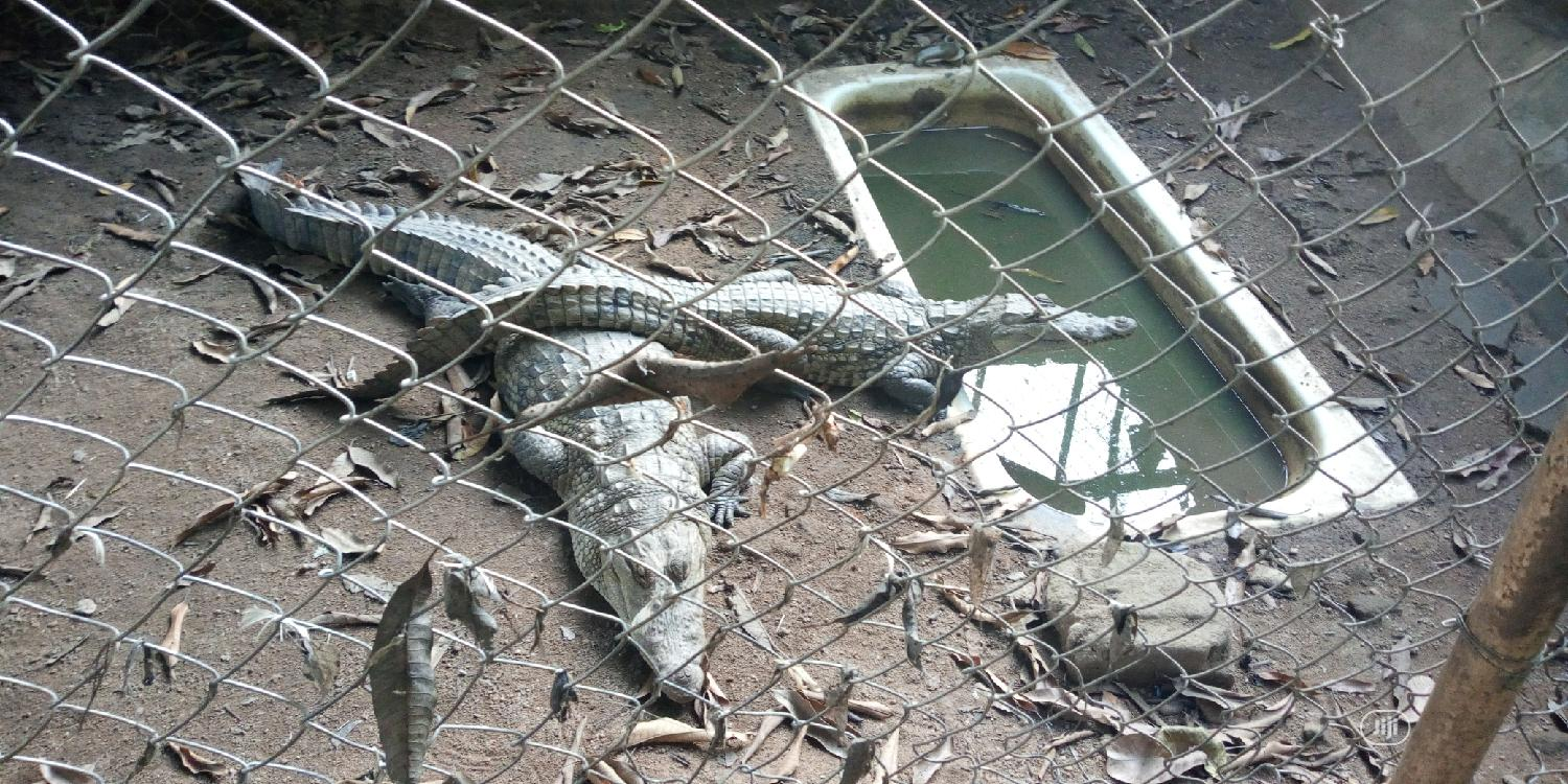 Archive: Crocodiles For Sale At Give Away Prices
