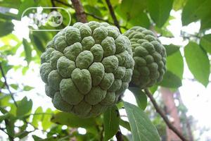 Sweet Sop Seedlings Sweet Sop Seeds Organic Sweet Sop Seedlings | Feeds, Supplements & Seeds for sale in Plateau State, Jos