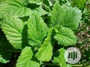 Lemon Balm Seedling Lemon Balm Seeds Organic Lemon Balm Seeds | Feeds, Supplements & Seeds for sale in Plateau State, Jos