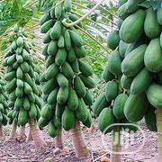 Giant Maltia Variety | Feeds, Supplements & Seeds for sale in Edo State, Okada