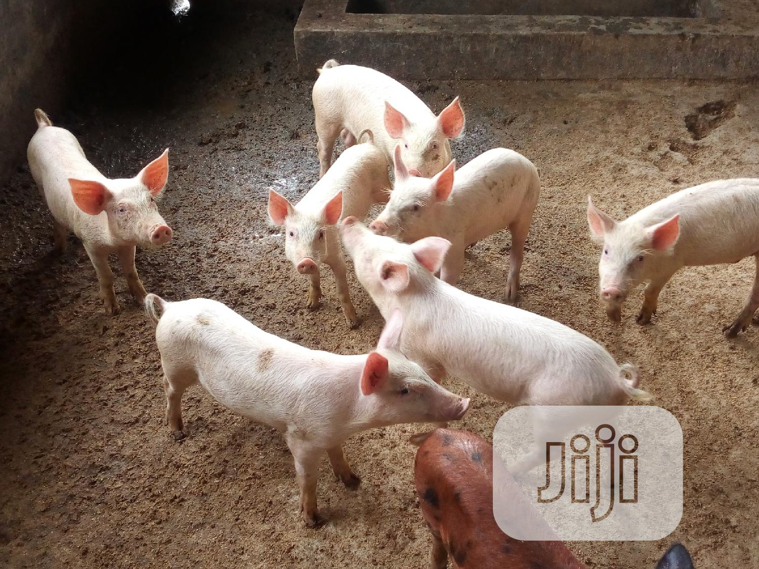 Archive: Pigs For Sale
